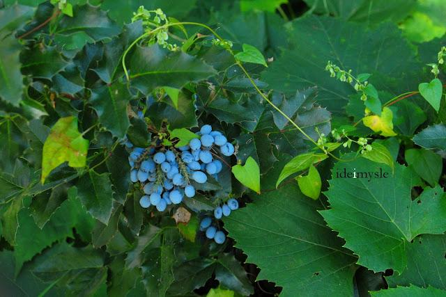 mahonia pospolita, ościał pospolity, krzewy owocowe, jadalne rośliny ogrodowe