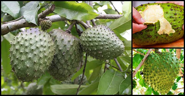 Protect The Body From Diseases With Regular Consumption Of Soursop Fruit