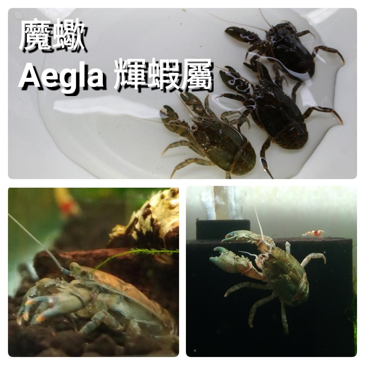 蝦兵魚匠: 螯蝦飼養心得分享