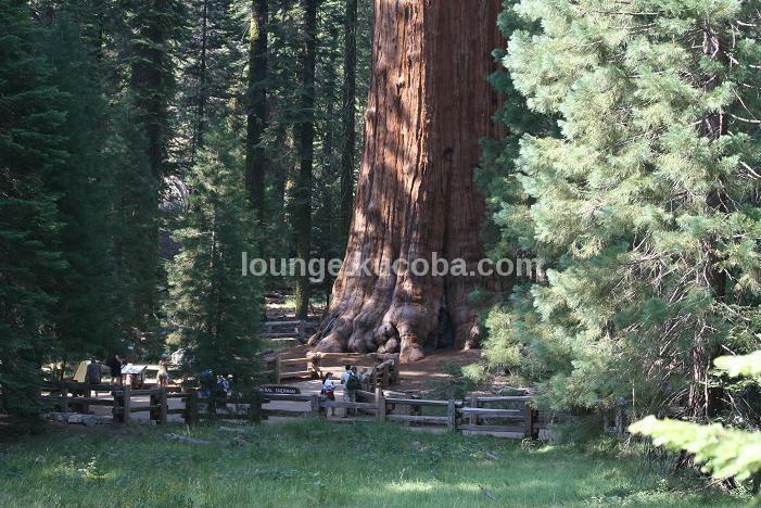 Pohon Terbesar Dari Masa Lalu
