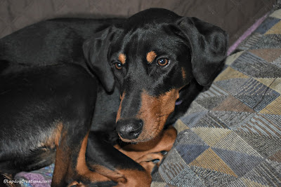 rescued doberman mix dog