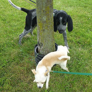A small dog peeing on a tree while a larger black dog watches.