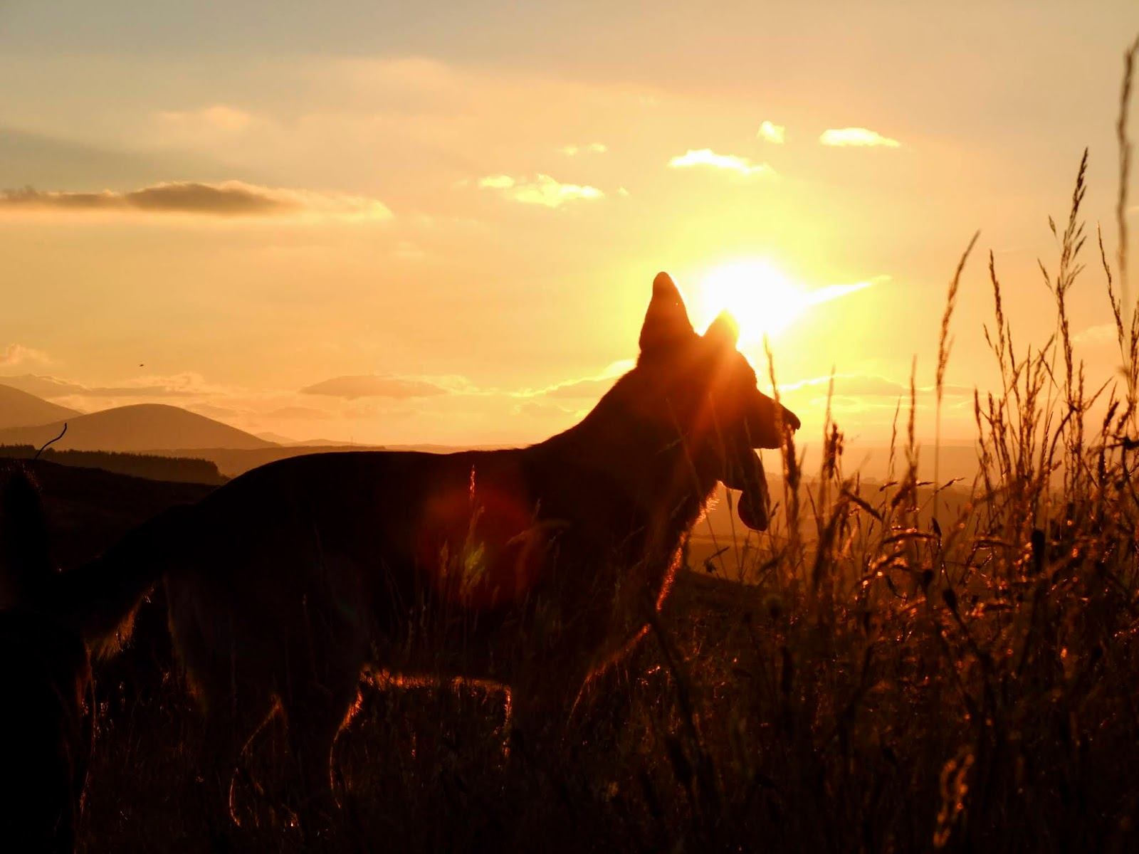 German Shepherd watching a golden autumn sunset in the Boggeragh Mountains in County Cork.