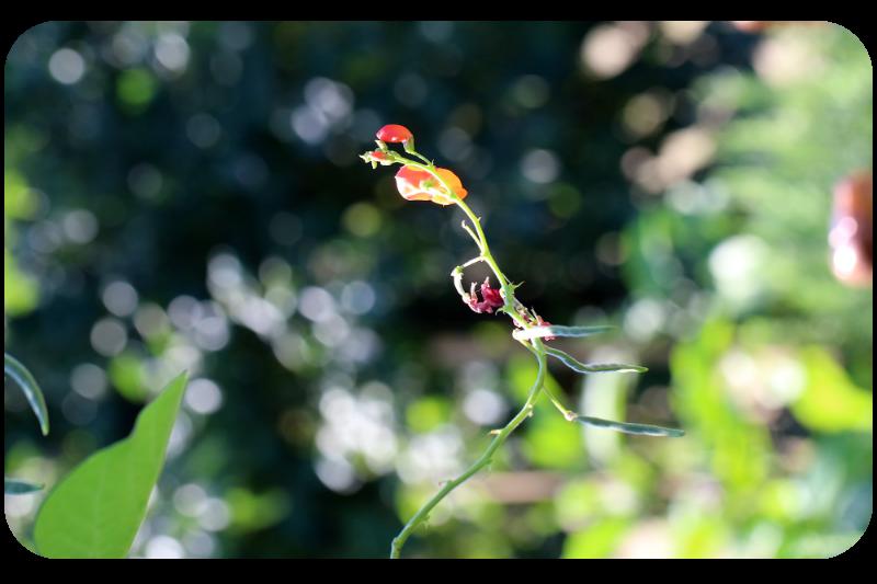 Blühender Zweig der Feuerbohne | Arthurs Tochter Kocht by Astrid Paul