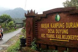 Berburu Durian Khas Mojokerto di Kampung Duyung