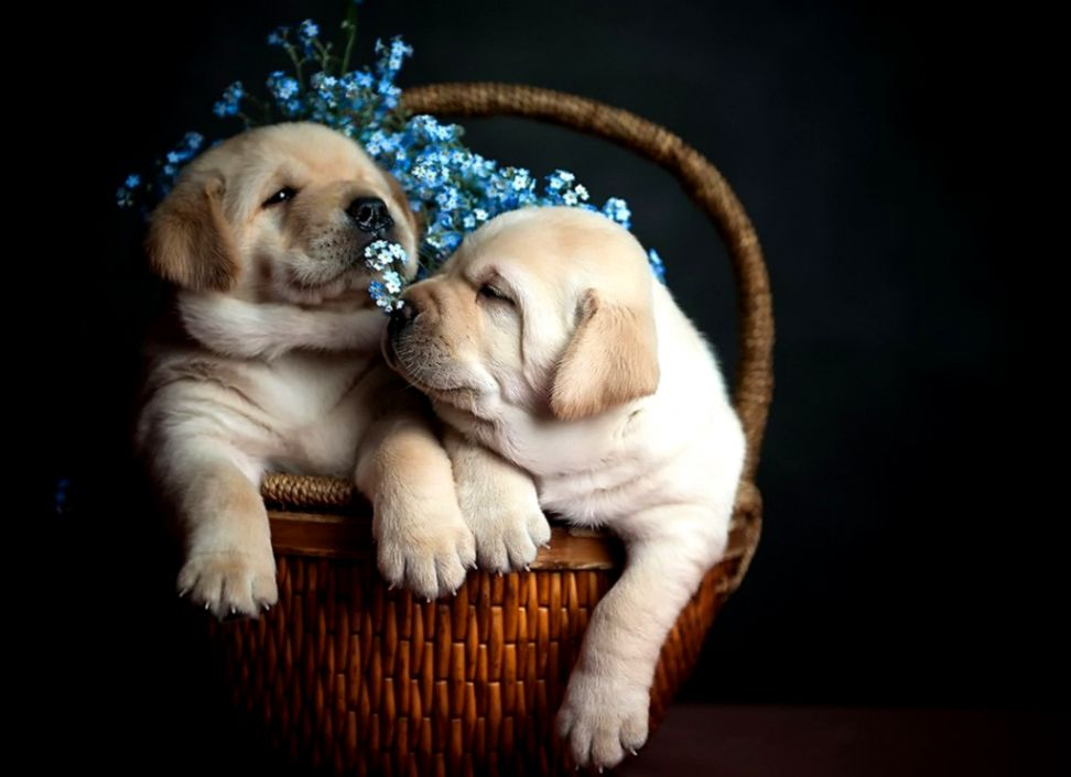 Basket Dogs Puppies Hd Wallpaper Hd Wallpapers