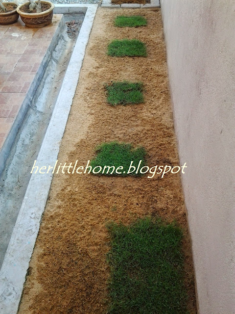 Tips tanam rumput carpet