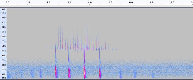 common pipistrelle bat echolocation social call spectrogram
