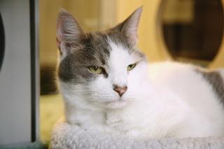 Best option for treating cat hyperthyroidism