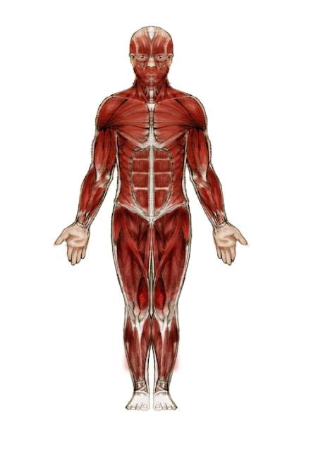 Sistem muskular