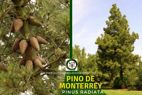 El Pino de Monterrey, Pinus radiata, árbol de crecimiento rápido. Conífera