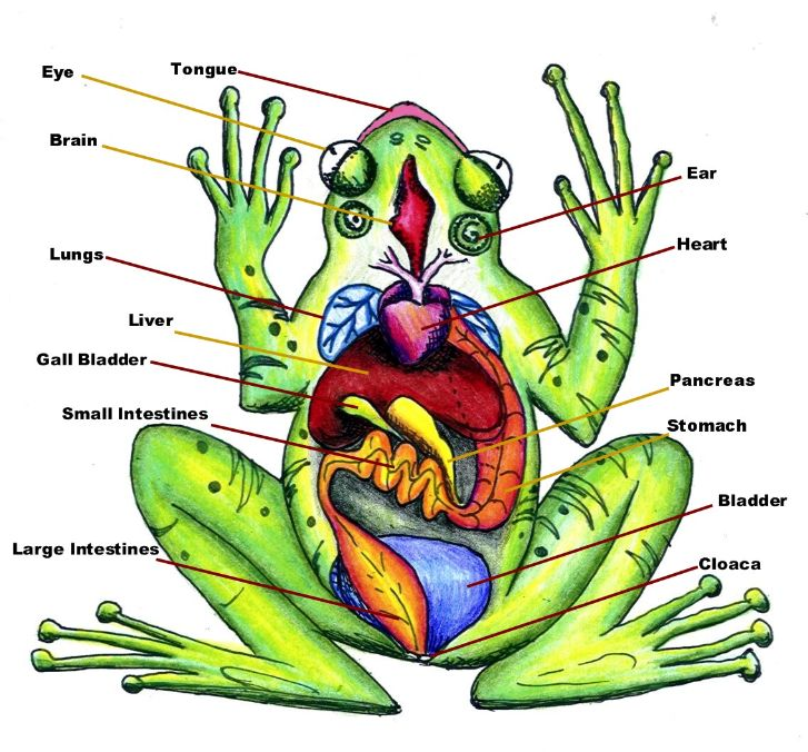 puppies123: Frog Dissection