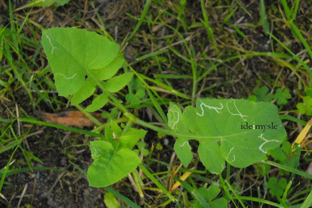 sonchus oleraceus, dzikie rośliny jadalne, dzika sałata, common sowthistle, edible wilds