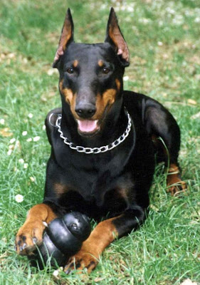 Doberman Pinscher Dog Picture