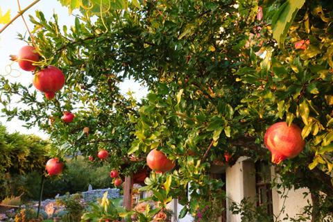 Pomegranate care tree service Alpharetta Ga