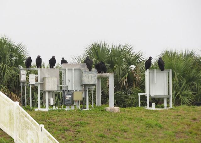 American Black Vultures - Merritt Island, Florida