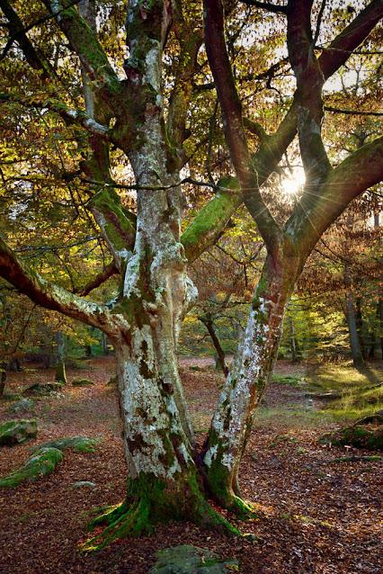 Charme de Musette, forêt de Fontainebleau.