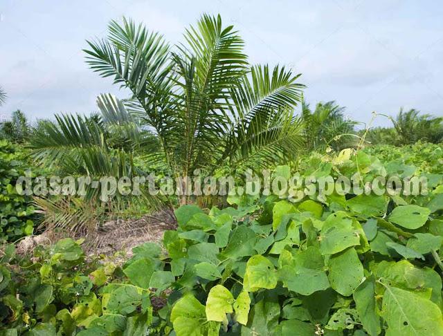 yaitu sejenis rumput menjalar yang memiliki banyak kegunaan terhadap tanaman ibarat saw Manfaat Tanaman Penutup Tanah (LCC) Terhadap Tanaman Sawit