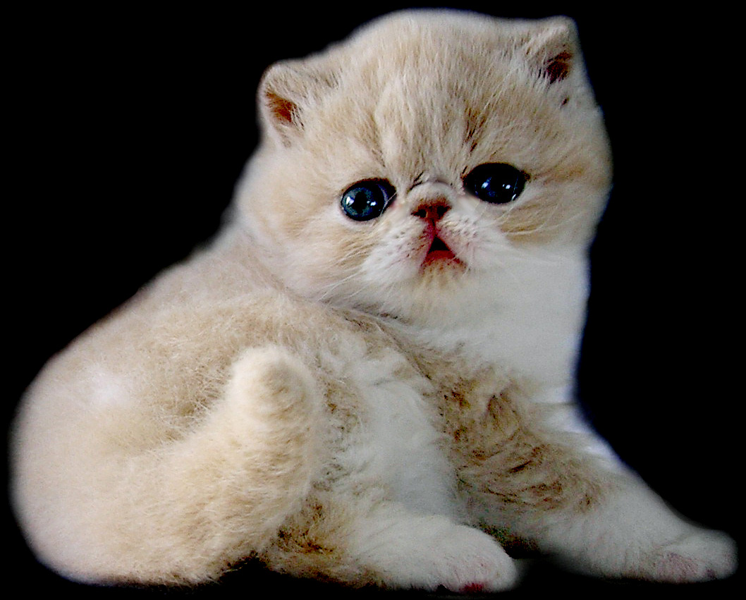 Exotic Shorthair Cats - Pets Cute and Docile