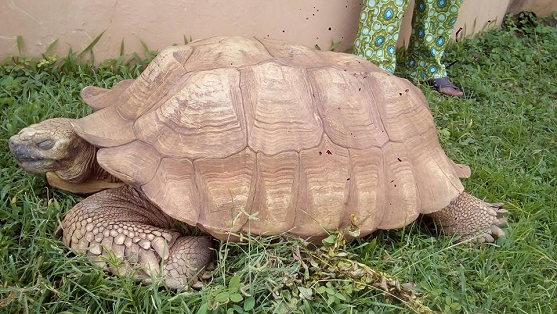 the oldest tortoise in nigeria