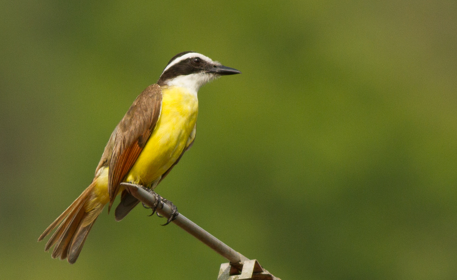 Great Kiskadee and Lookalikes