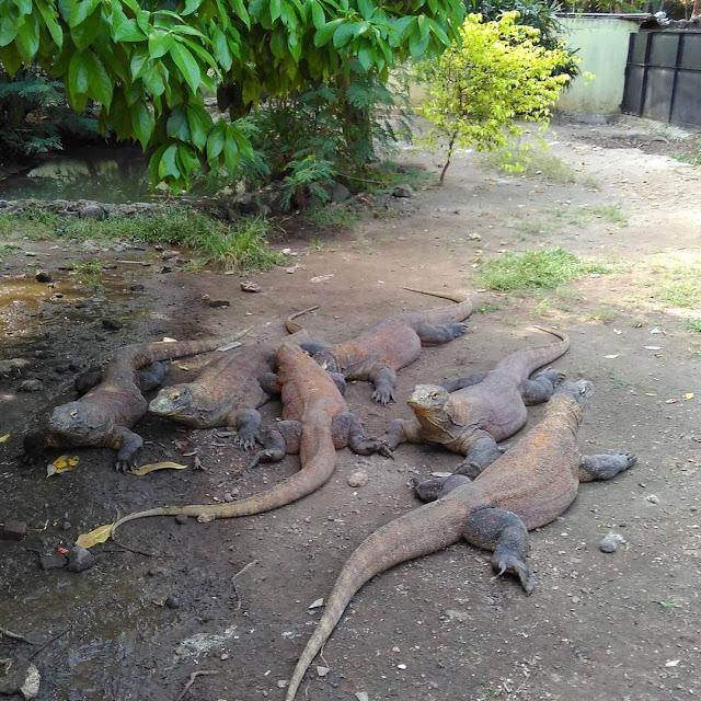 foto komodo kebun binatang surabaya