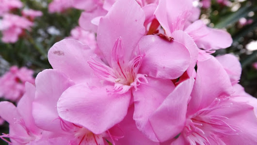 Beautiful Pink Flowers Extra Close | 277 IMG free photo | hbr online