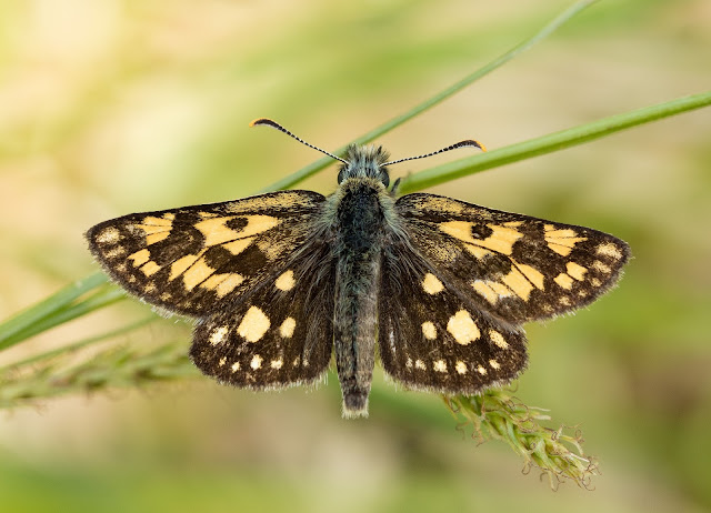 Chequered Skipper - Fort William