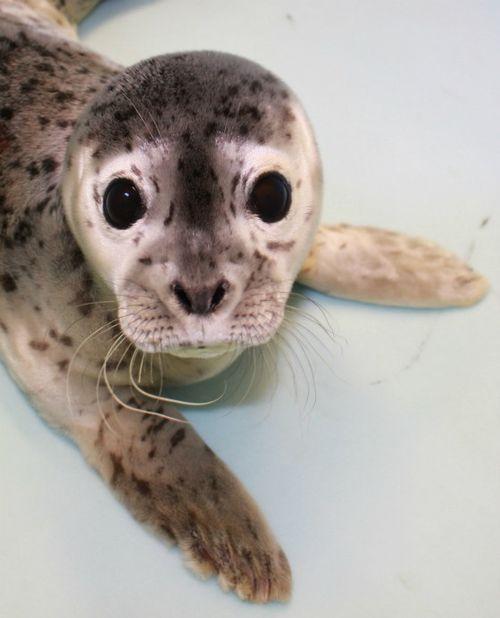 Cute!: Gouda the Harbor Seal pup!