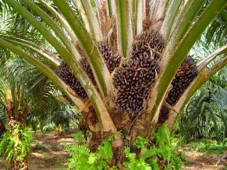 penyemprotan-tanaman-kelapa-sawitgug.jpg