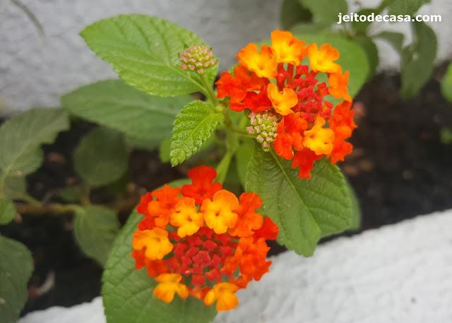 planta-rustica-e -perene-lantana