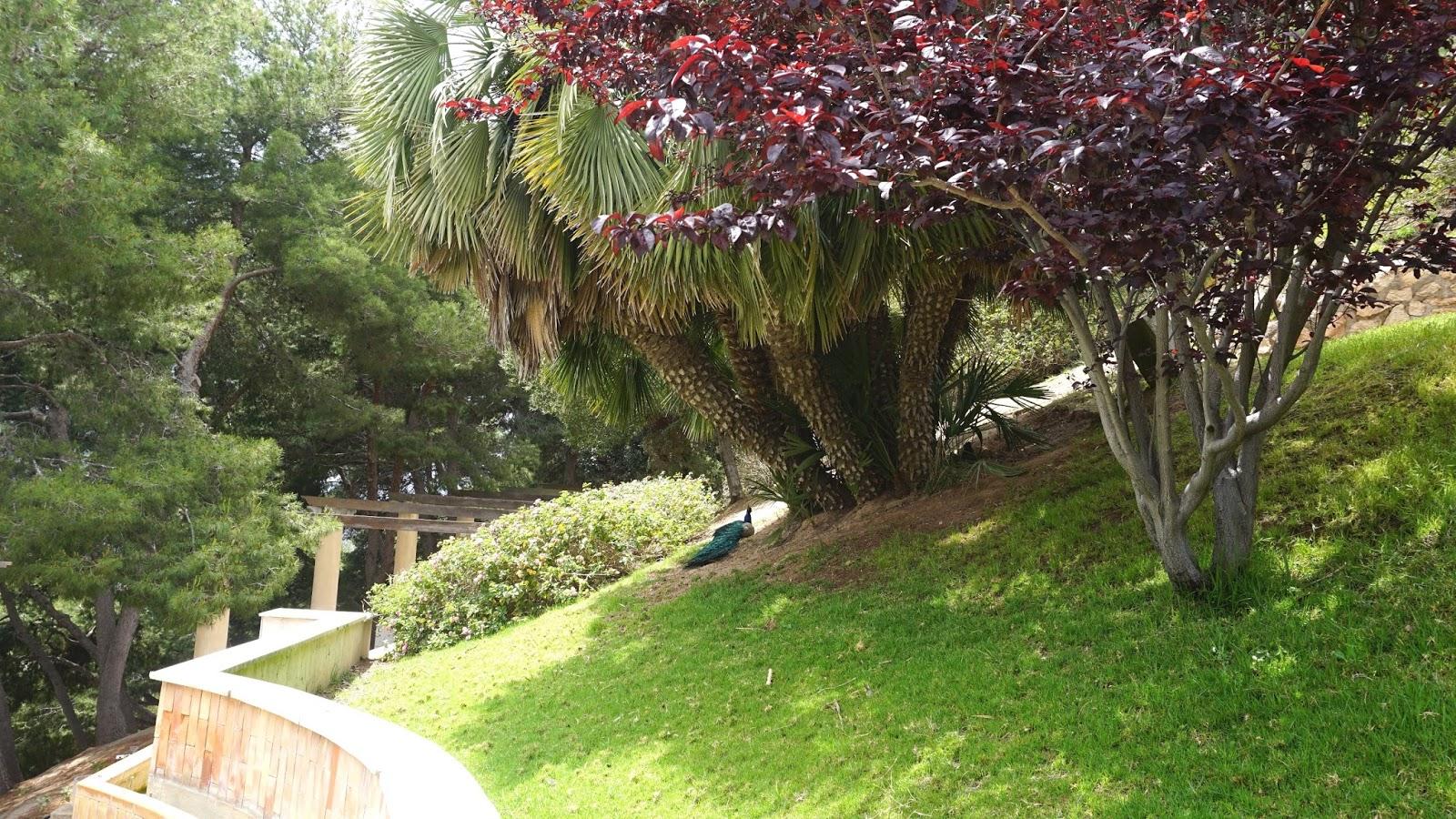 paw Hiszpania, ogród przy Castillo de la Concepcion, Kartagena, prowincja Murcja,  Costa Calida