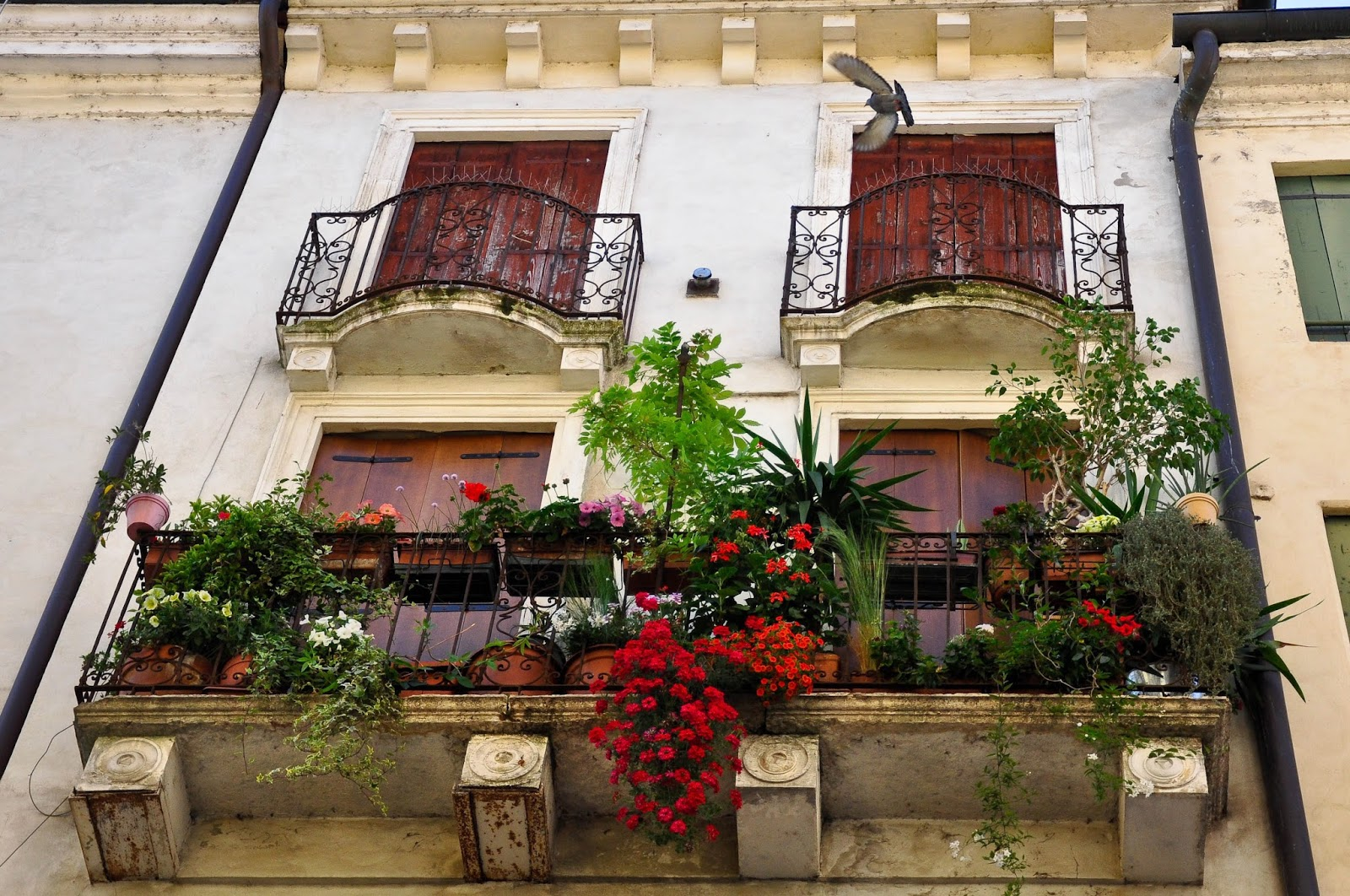 A hanging garden on a balcony with a flying pigeon in Vicenza, Italy