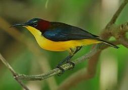 Burung Madu Yang Langka dan Mahal