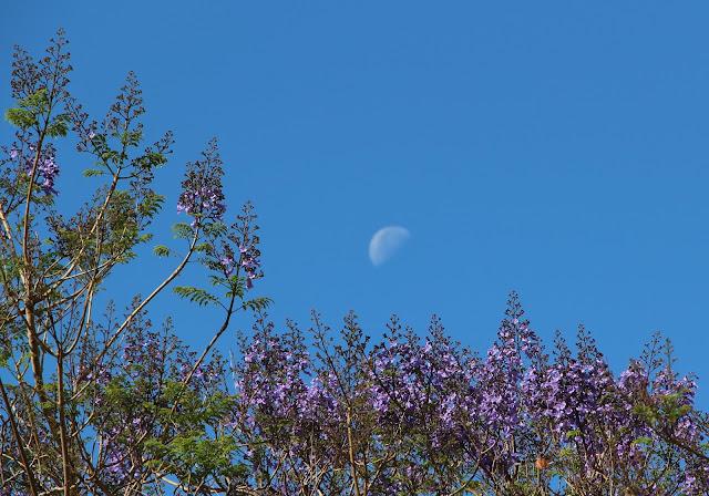 the moon between the jacarandá