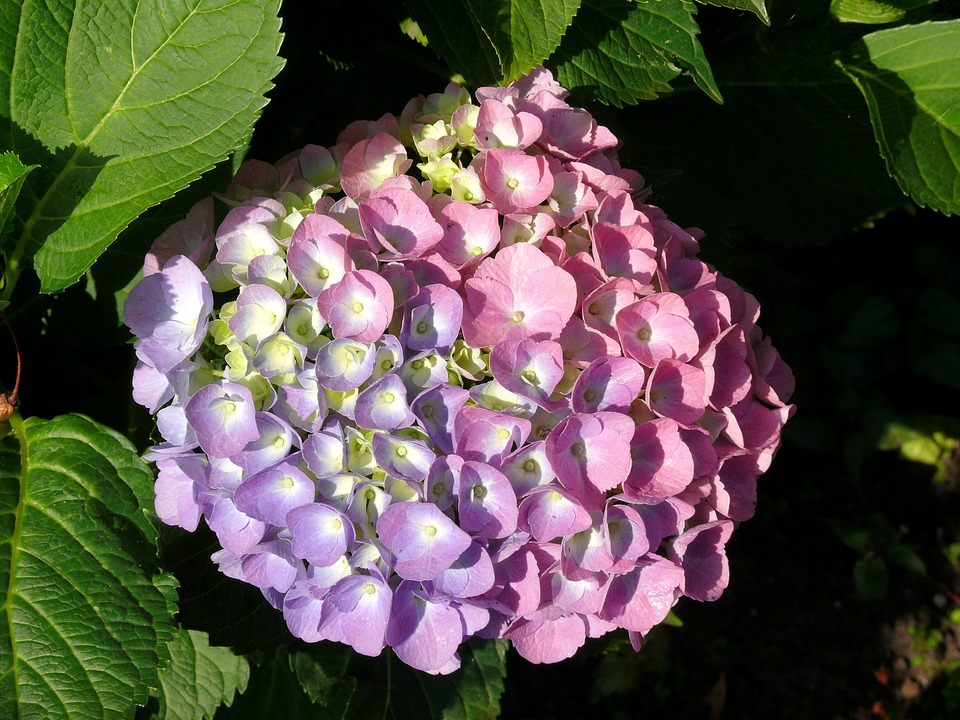 Entre Plantas Y Macetas Hortensia Hydrangea Maecrophilla - Hortensias-cuidados-maceta