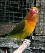 lovebird tidak fighter