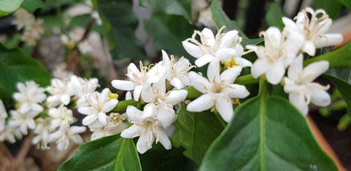 ดอกกาแฟอาราบิกา