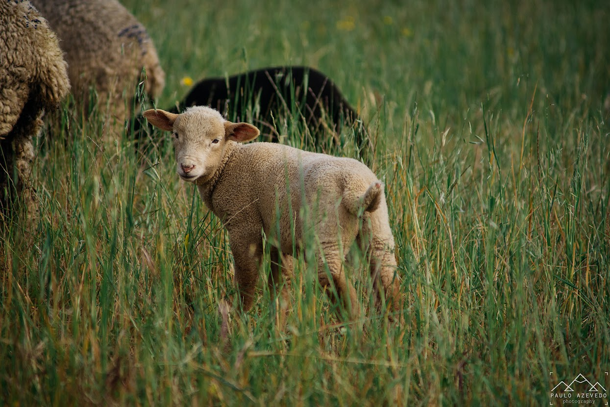 ovelha no campo