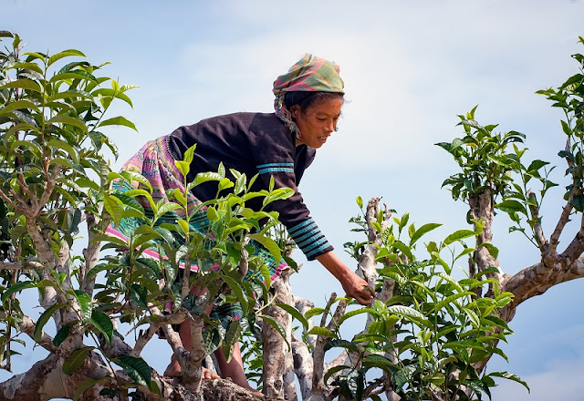 Tea harvest season in Yen Bai 8