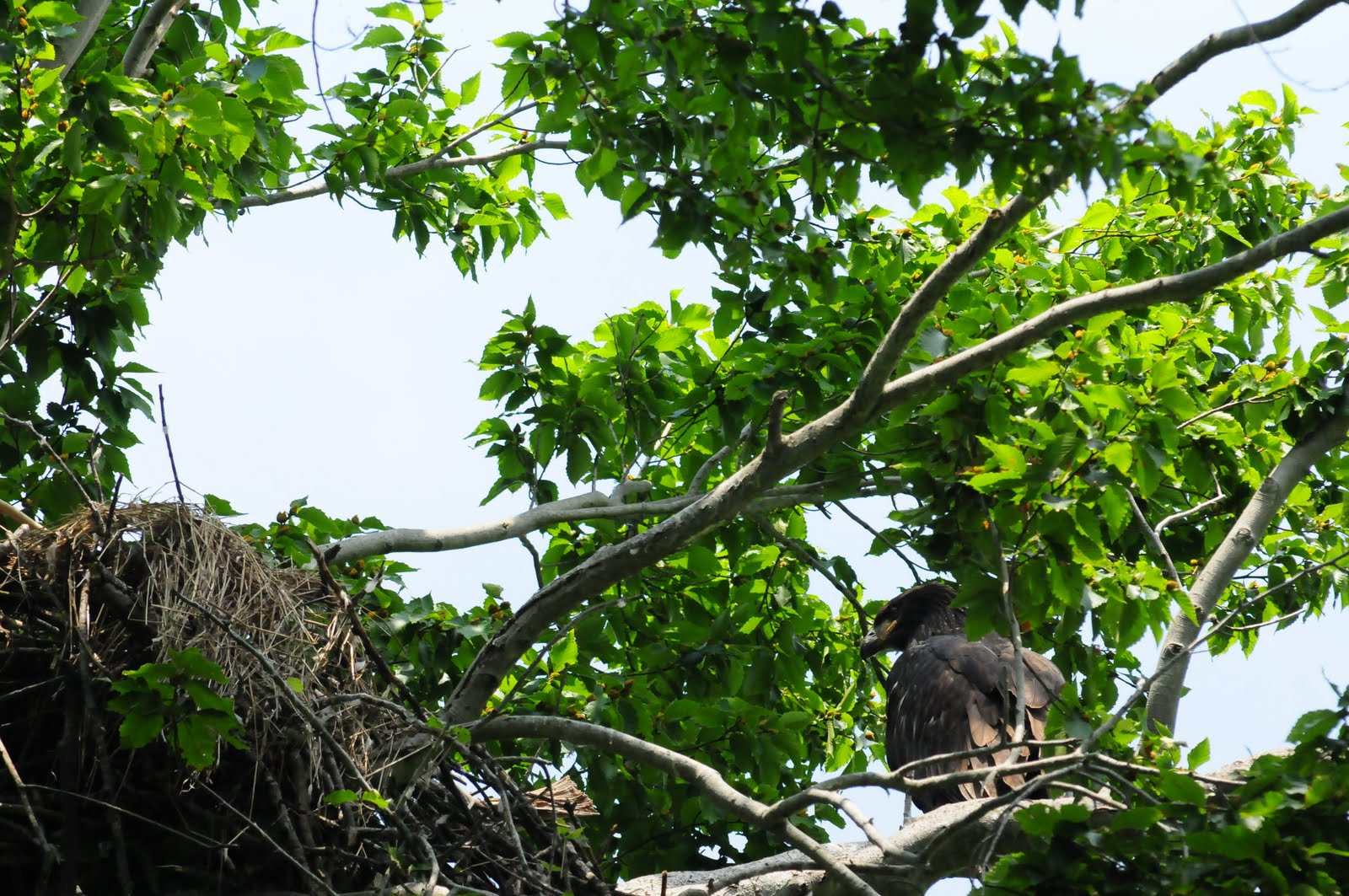 Wildlife photography: Patuxent River Bald Eagles Nest update