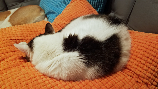 image of Olivia the White Farm Cat curled up on a pillow, with her back to the camera