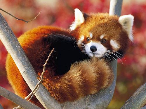 """Também conhecido como raposa-de-fogo, aconchegado num """"galho terreno"""""""
