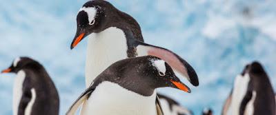 Ένας πιγκουίνος γυρίζει σπίτι και βρίσκει τη γυναίκα του με άλλον. Και μετά χύθηκε αίμα (κυριολεκτικά)