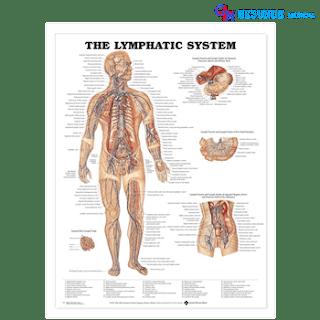 Bagan Anatomi Sistem Limfatik