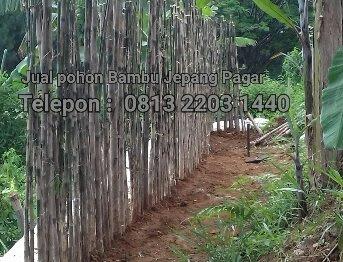 Jual pohon bambu jepang di bogor