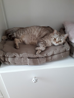 chaton chocolat silver taby