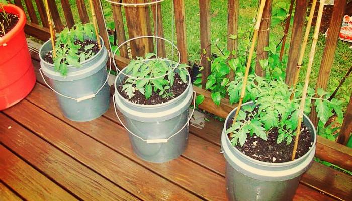 Como sembrar tomates cherry
