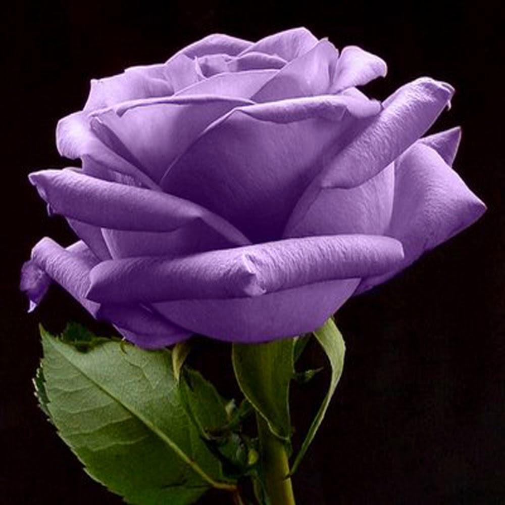 Purple Rose Wallpapers - keywords HERE  Purple