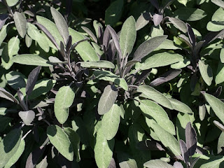 Salvia officinalis 'Purpurascens' - Sauge de Dalmatie - Sauge officinale